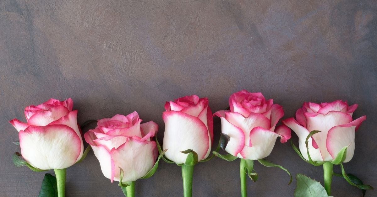 Pink and white roses against a grey wall